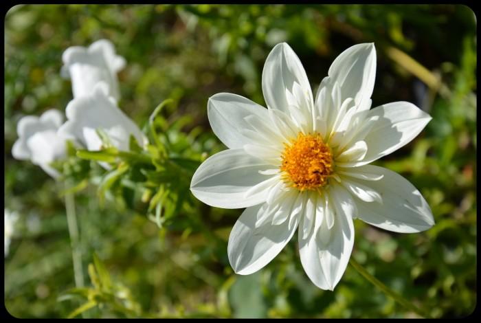 Fleur à Giverny
