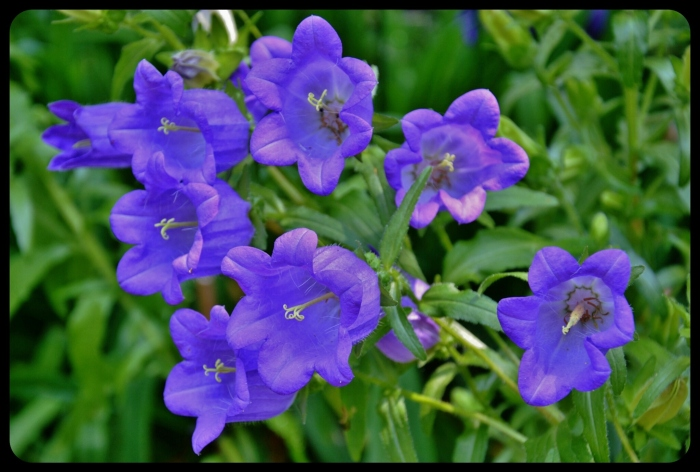 fleur de Giverny
