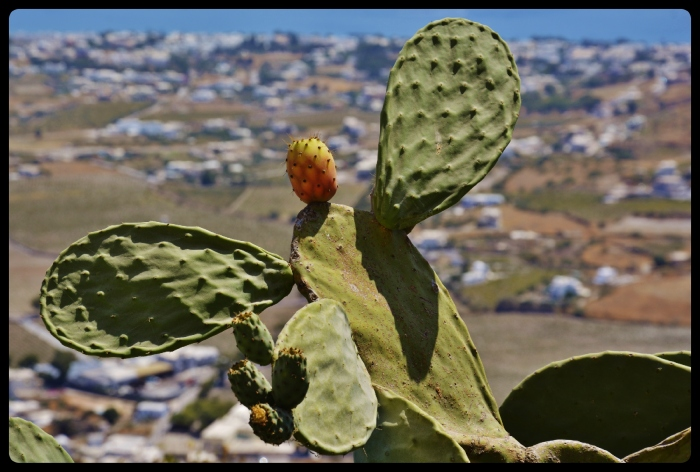 Cactus, figue de Barbarie. Grèce /Santorin 08.2017