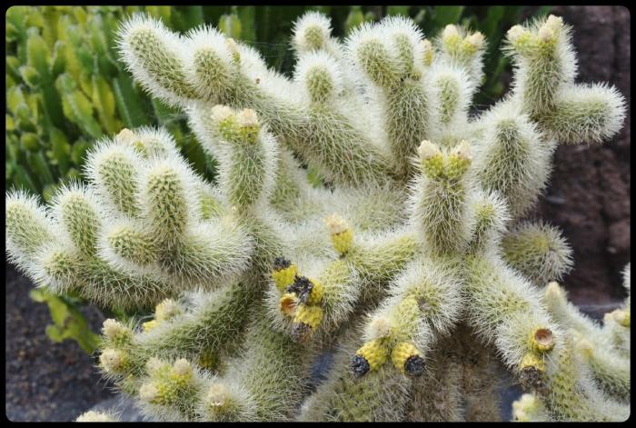 Jardin des cactus / Lanzarote 2018